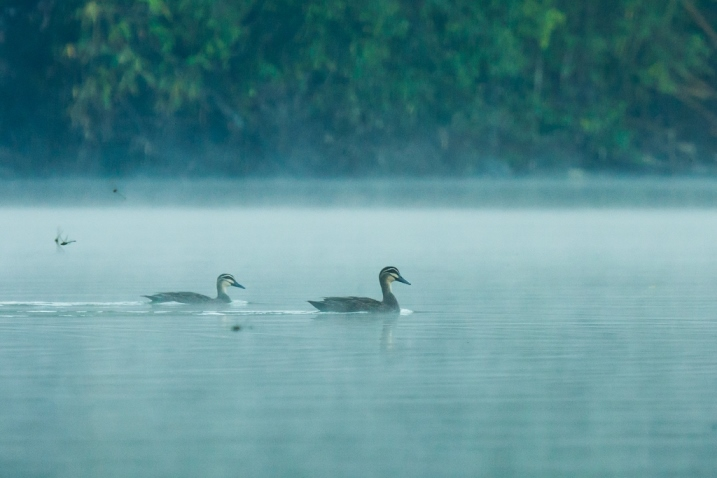 Pacific black-ducks swimming in Lake Sano Nggoang